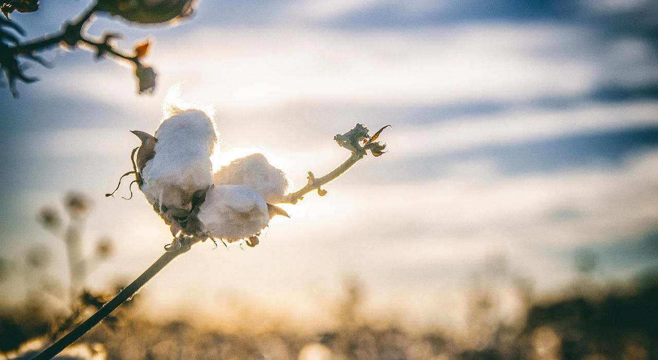 cotton-2807362_1280.jpg